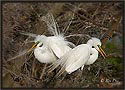 Great Egrets 6252